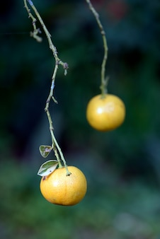 Kumquats orange sur la branche de l'arbre