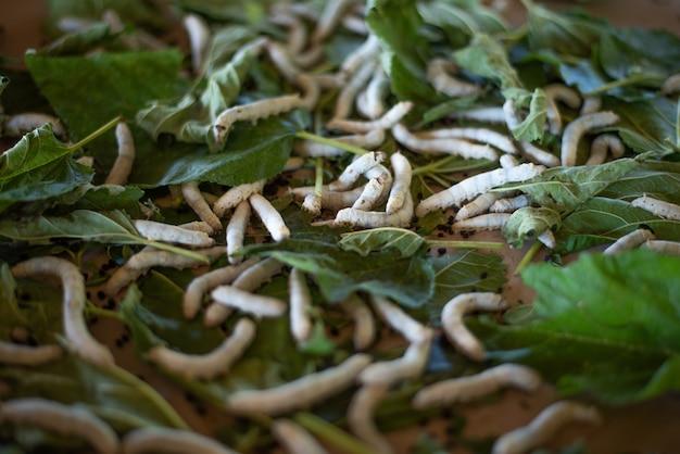 Kworm sur une feuille de mûrier