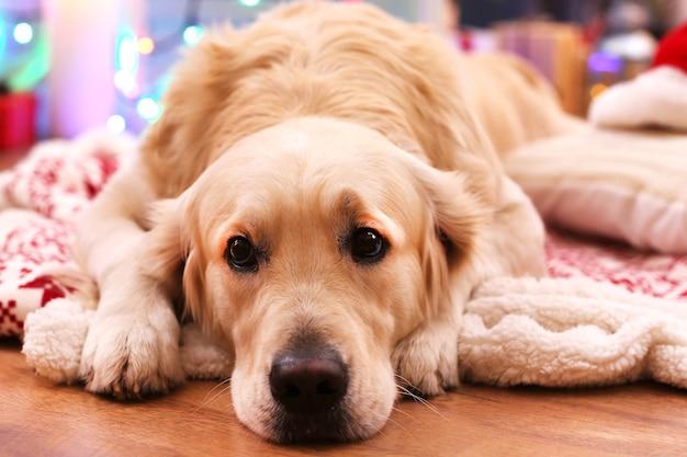 Labrador allongé sur un plaid sur un plancher en bois et une surface de décoration de noël