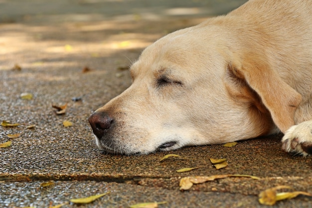 Labrador chien à dormir