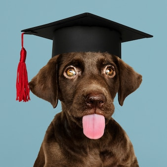Labrador chiot diplômé