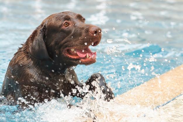 Labrador labrador reposant sur la piscine