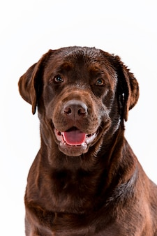 Labrador retriever brun posant