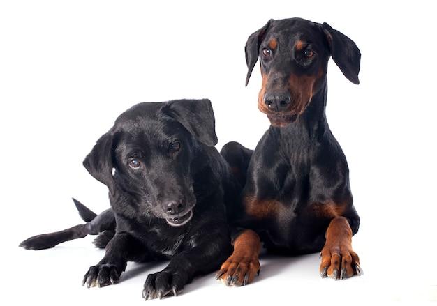 Labrador retriever et dobermann