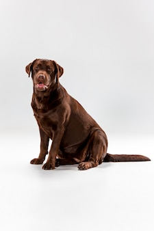 Le labrador retriever marron sur blanc
