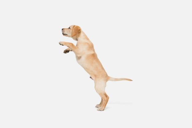 Labrador retriever petit chien qui sillonne, posant isolé sur mur blanc. amour de l'animal, concept d'émotions drôles. copyspace pour l'annonce. posant mignon. animal de compagnie actif en mouvement, action.