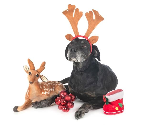 Labrador retriever de race mixte