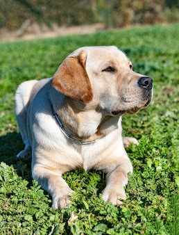 Labrador retriever séjournant pour une formation d'obéissance
