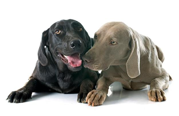 Labrador retriever et weimaraner