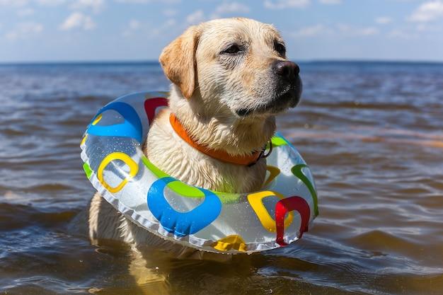 Labrador se baignant dans la rivière, saut d'équipe de bâton de pulvérisation, animaux de liberté de paysage de nature