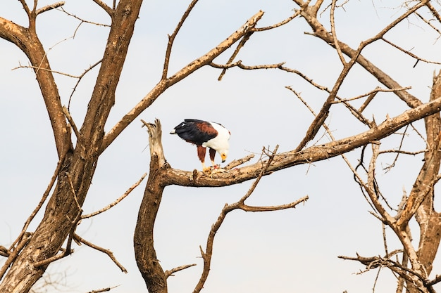 Lac baringo l'aigle pêcheur dévore les poissons kenya