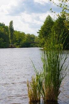 Le lac et le jonc dans le parc en été. pont dans la surface