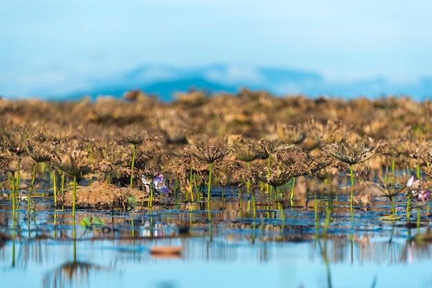Lac lotus, thaïlande