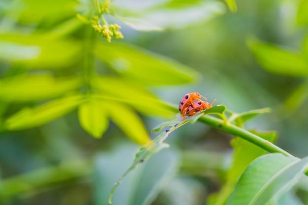 Lady bug couple faisait l'amour sur la feuille verte fraîche avec un arrière-plan flou