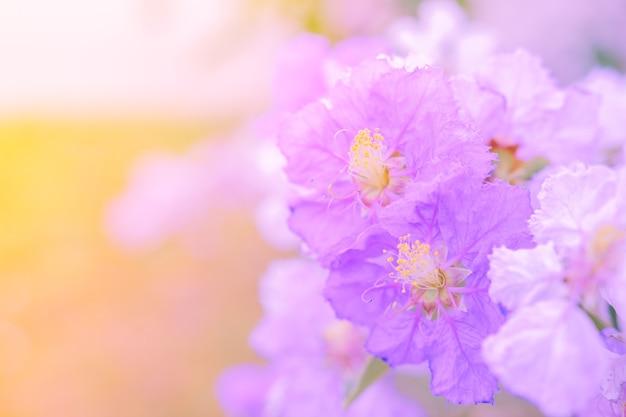 Lagerstroemia macrocarpa fleur de mur