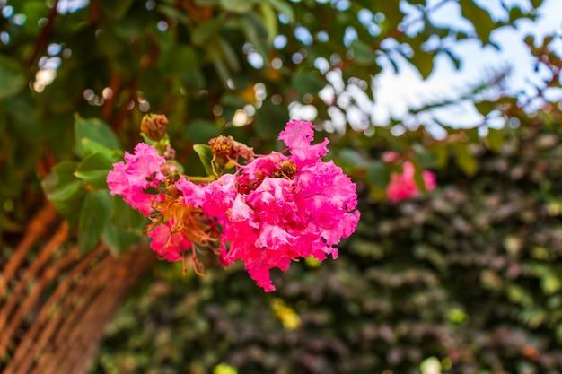 Lagerstromia ou lilas indien en fleur. belle journée ensoleillée. grand fond pour le site.