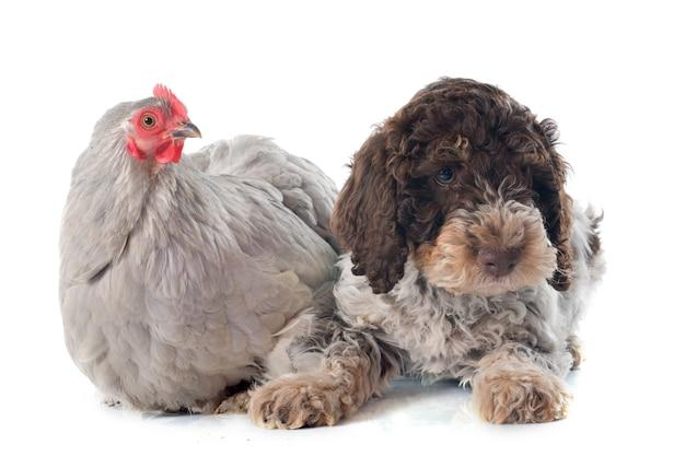 Lagotto romagnolo et poulet
