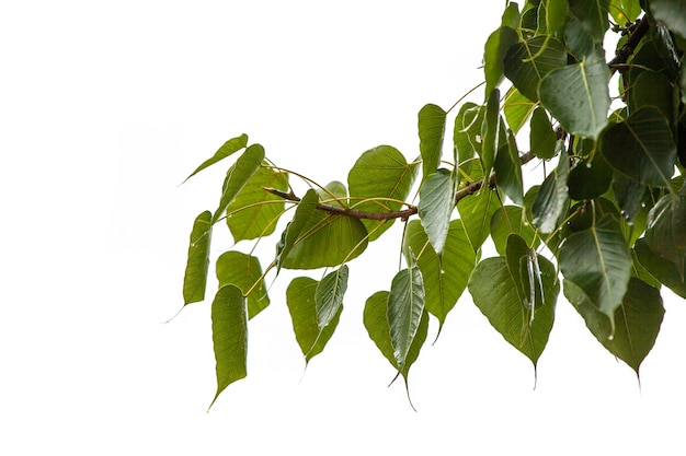 Laisse l'arbre de bodhi un jour de pluie.