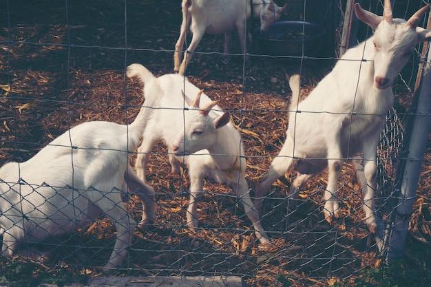 Lait, chèvre, ferme, lait bio, chèvre
