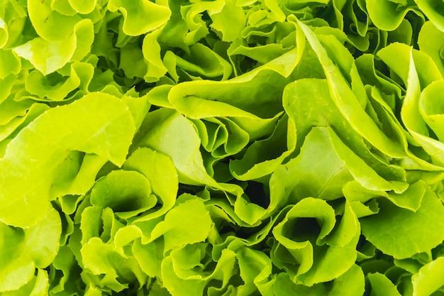 Laitue crue organique vert santé