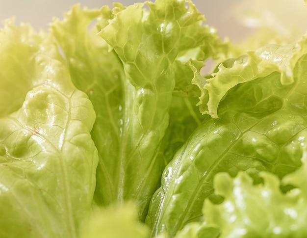 Laitue frisée verte humide en macrophotographie