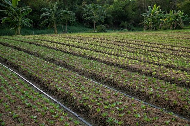 Laitue poussant dans le sol dans le jardin potager de wang nam khiao, nakhon ratchasima, thaïlande