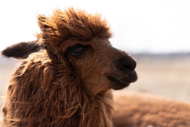 Lama d'alpaka animal mignon à la ferme à l'extérieur avec des dents drôles