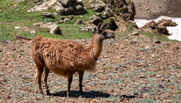 Lama broutant dans les montagnes françaises