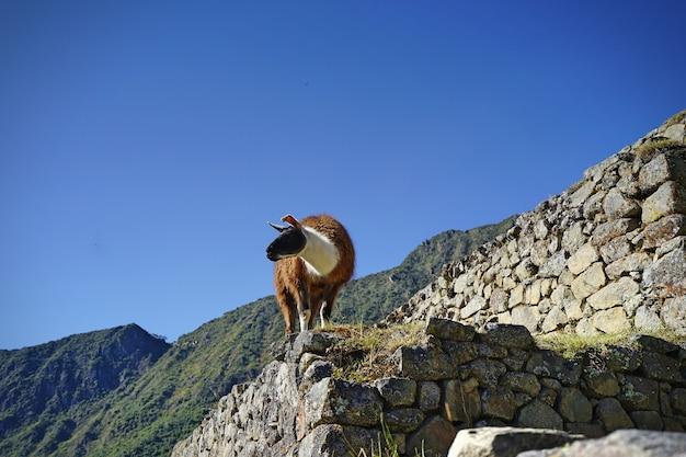 Le lama debout sur la pierre à machupicchu.