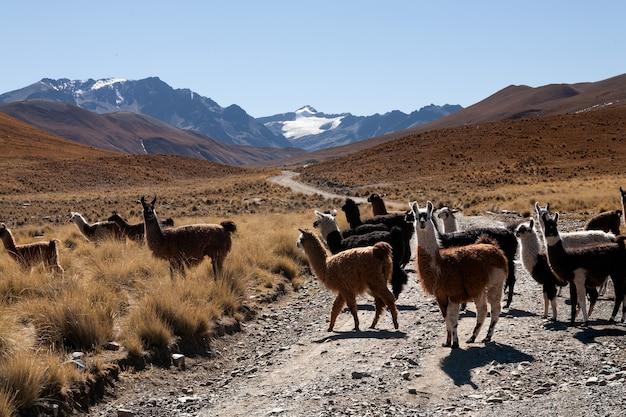 Lama à l'état sauvage dans les hauts plateaux de bolivie - altiplano - vicuna alpaca lama