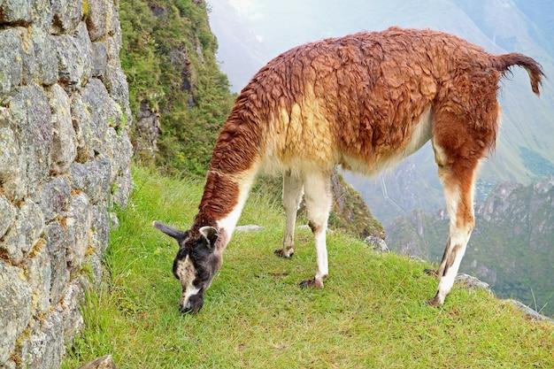 Lama mangeant des herbes à la citadelle inca de machu picchu, cusco, pérou, amérique du sud