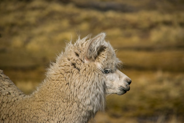 Lama des montagnes dans la cordillera real, andes, bolivie