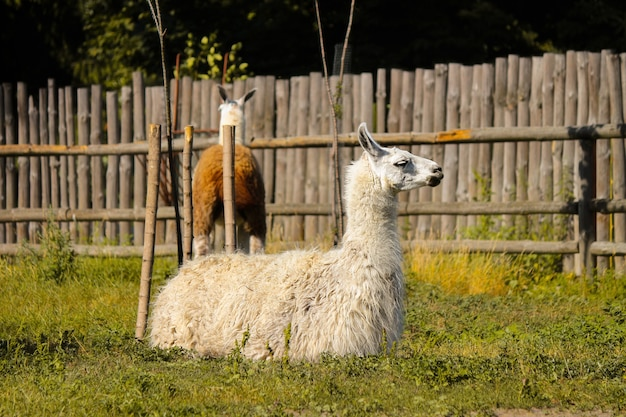 Lama se repose au zoo