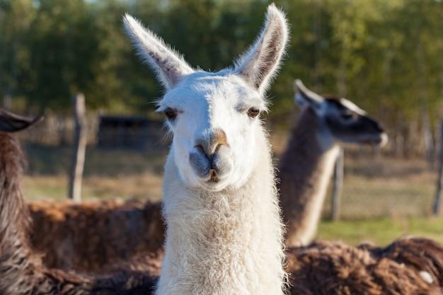 Lamas blancs et gris à la ferme eco