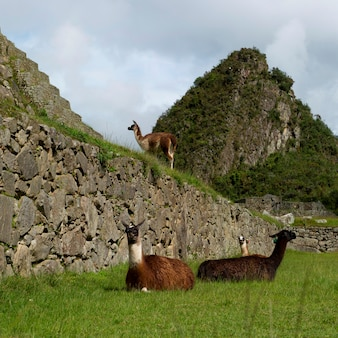 Lamas (lama glama) à la cité perdue des incas, machu picchu, région de cuzco, pérou