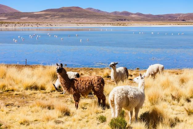 Lamas mignons