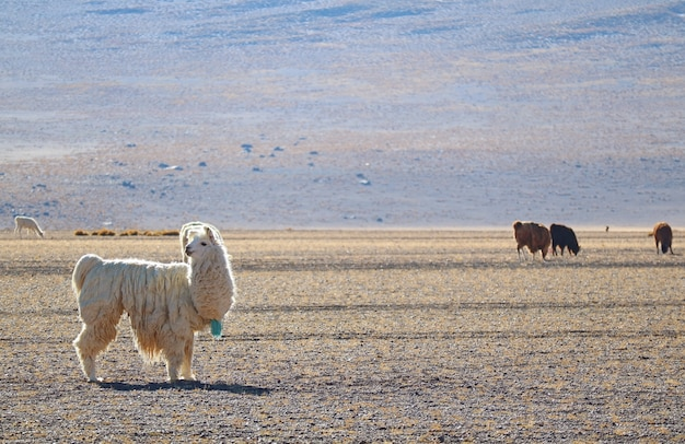 Lamas paissant au pied des andes, plateau andin, bolivie, amérique du sud