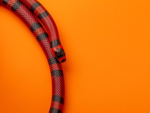 Lampropeltis triangulum, communément appelé serpent de lait ou couleuvre tachetée, est une espèce de couleuvre royale.