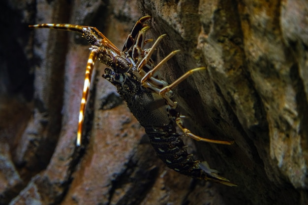 Langouste - palinurus elephas, tir sous-marin de homard sur le fond de l'océan.