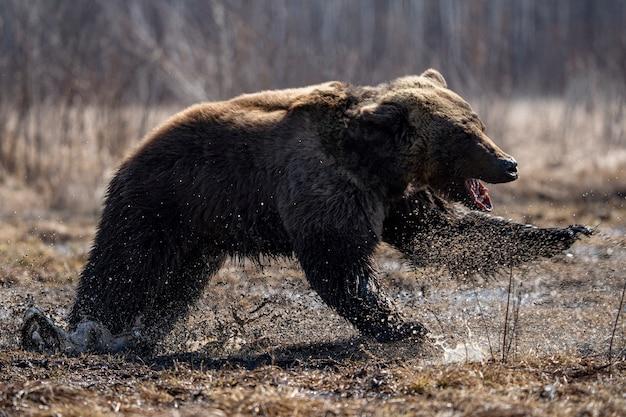 Langue d'ours brun qui traîne. photo de haute qualité