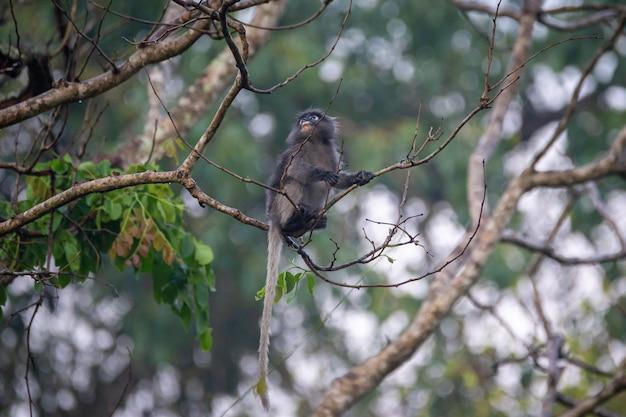 Langur sombre (langur à lunettes) (trachypithecus obscurus) au parc national de kaeng krachan