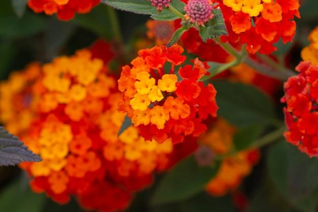 Lantana camara fleur