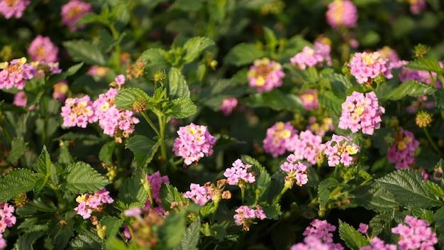 Lantara camara fleur dans jardin california usa. floraison d'umbelanterna, fleur botanique. printemps