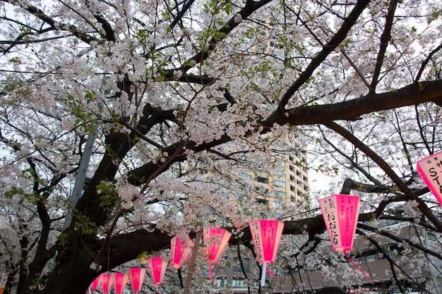 Lanterne au festival de sakura