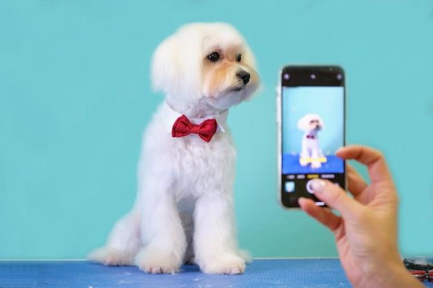 Lapdog maltais avec un beau papillon sur son cou pose devant le téléphone