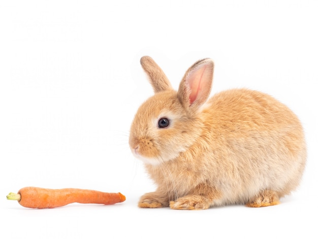 Lapin bébé mignon rouge-brun mangeant des carottes de bébé sur fond blanc.