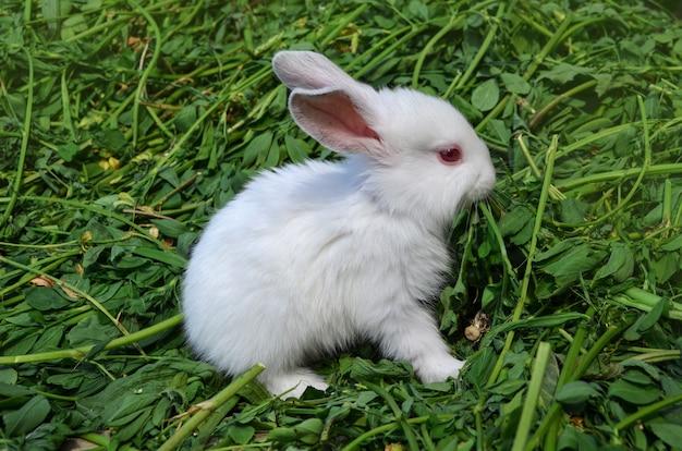 Lapin blanc bébé dans le pré