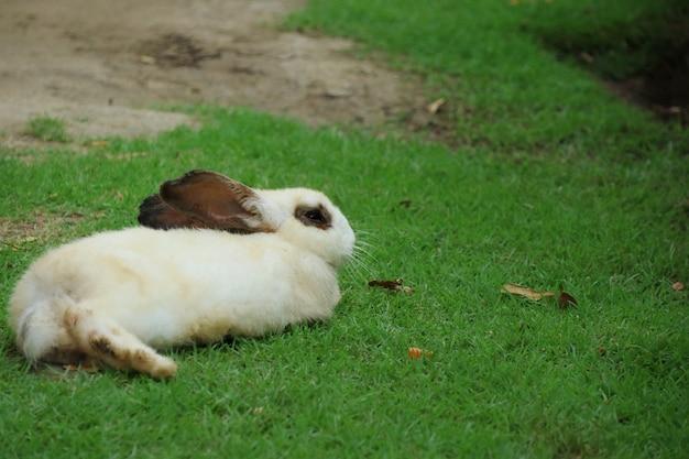 Lapin blanc mignon couché sur l'herbe verte.