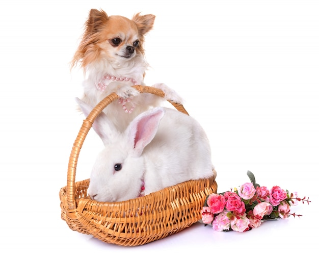 Lapin et chihuahua