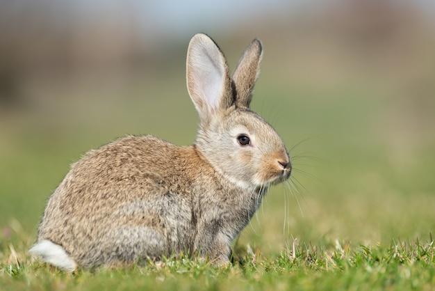 Lapin lièvre en vous regardant sur l'herbe